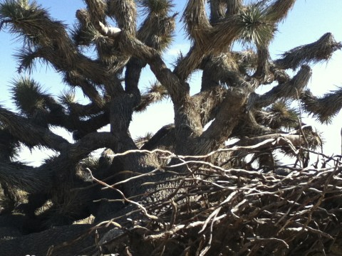 Joshua Tree - Mojave Desert in Winter 